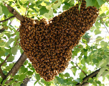 bee swarm removal on a tree branch
