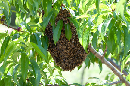 swarm-bees-tree